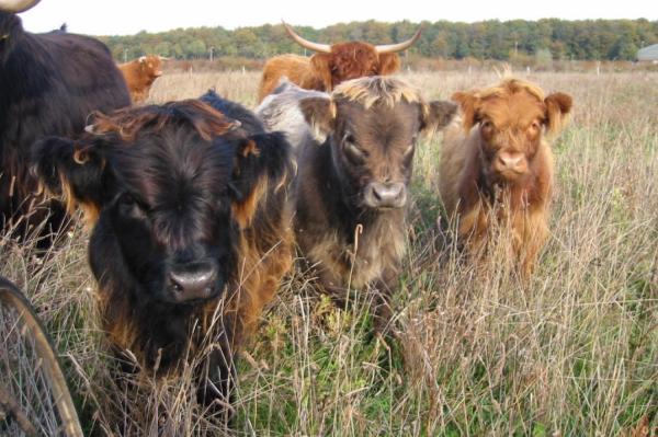 Schotse Hooglanders kudde